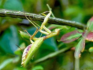 ハラビロカマキリの雌