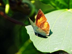 ウラギンシジミ・雄の表翅