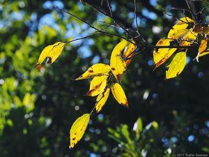 エノキの黄葉輝く