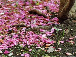 サザンカの花びら散る
