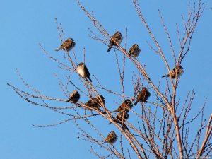 ふくら雀の群れ