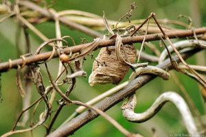 枯れ茎で見たオオカマキリ卵のう