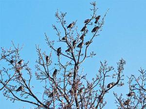 クヌギに止まるムクドリの群れ