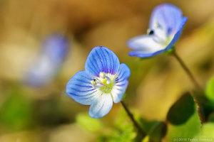 オオイヌノフグリの花