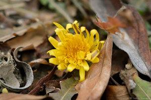 開きかけたタンポポの花