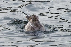 ホシハジロのメス、潜水開始!