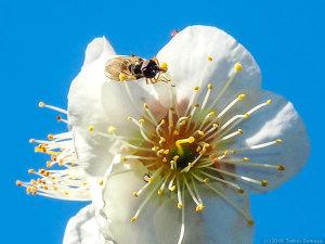 ウメの花で吸蜜するアブ