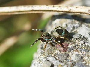 アオオビハエトリ(蜘蛛)