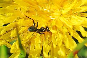 タンポポで吸蜜するアリ