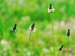 ヘラオオバコの花ゆらゆら