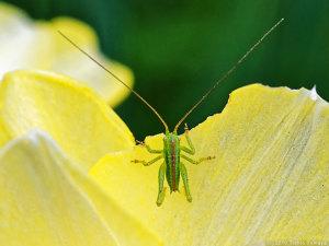 ヤブキリ幼虫、花びらを食う
