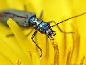 花粉を食べるモモブトカキミリモドキ