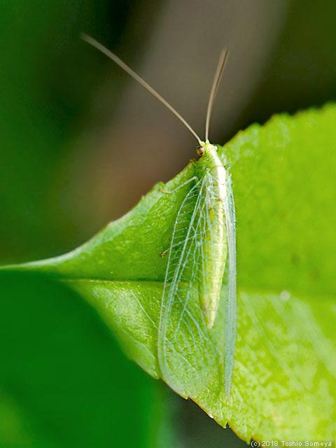 クサカゲロウ成虫