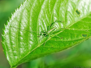 サクラの若葉にいたヤブキリ幼虫
