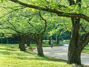 桜並木の今