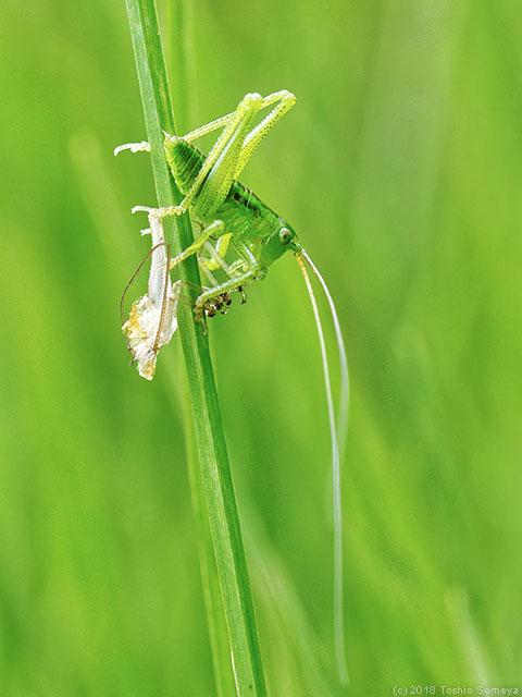 キリギリス幼虫、脱皮完了