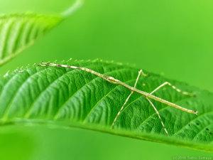 サクラの葉上にいたナナフシモドキ