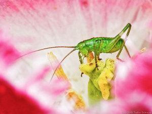 花のシベをかじるヤブキリ幼虫