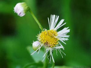 徹底的にやられたハルジオンの花