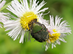 花芯をかじるコアオハナムグリ
