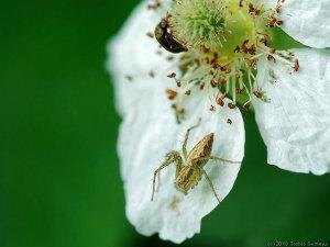 クサイチゴの花にいたササグモ