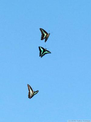 アオスジアゲハの求愛飛翔
