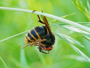 体清掃中のスズメバチ