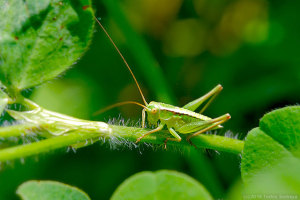 キリギリス幼虫の後脚に注目
