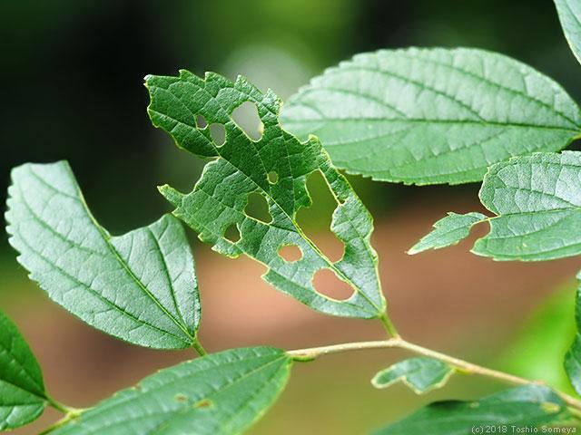 食い荒らされたエノキの葉