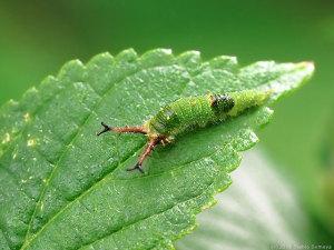 アカボシゴマダラ幼虫の全体像