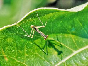 自分の影を見つめるハラビロカマキリ幼虫