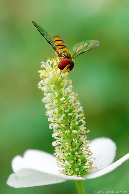 ドクダミの花で吸蜜するホソヒラタアブ