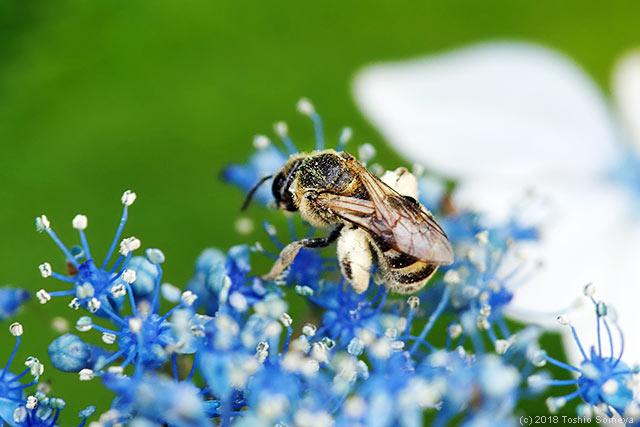 ガクアジサイで吸蜜するハナバチ