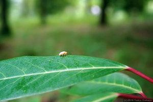葉上を歩く小さなハムシ