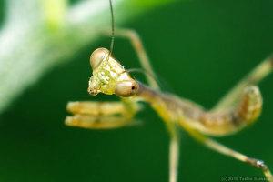 ハラビロカマキリ幼虫のきつい目つき