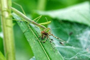 オオカマキリ幼虫がクモを捕食