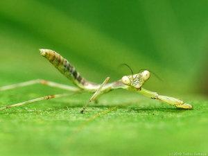 ハラビロカマキリの幼虫、へたっと・・