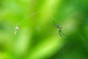 ジョロウグモの幼体