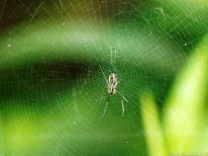 ジョロウグモ幼体の緻密な網