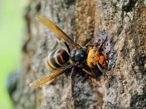 樹液独り占めのコガタスズメバチ