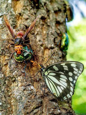 樹液を横取りするゴマダラチョウ