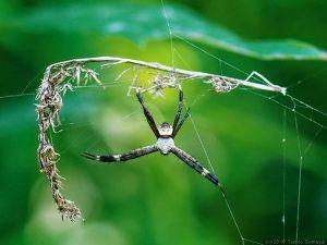 コガネグモのオス