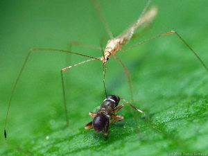 イトカメムシがアリを捕食