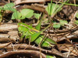 キリギリスの雌・成虫