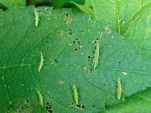 オンブバッタの幼虫集団