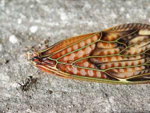 アブラゼミの翅とアリ