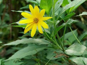 イヌキクイモの花、開く