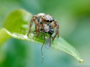 蚊を捕らえたハエトリグモ