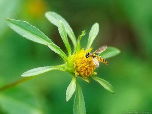 コセンダングサの花に来た小さなアブ