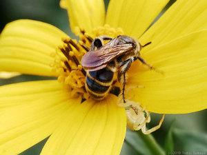 花の裏に隠れたアズチグモ